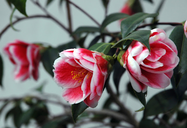 WHERE IS THE BEST PLACE TO PLANT A CAMELLIA?