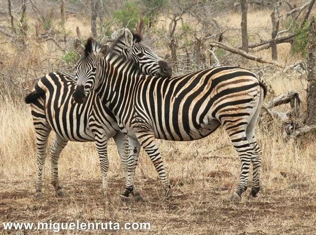 Cebras-Satara-Kruger