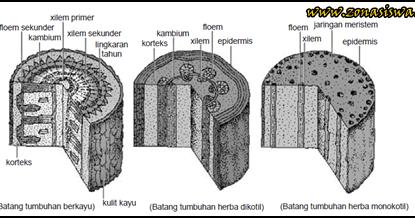 Fungsi Dan Struktur Batang Tumbuhan