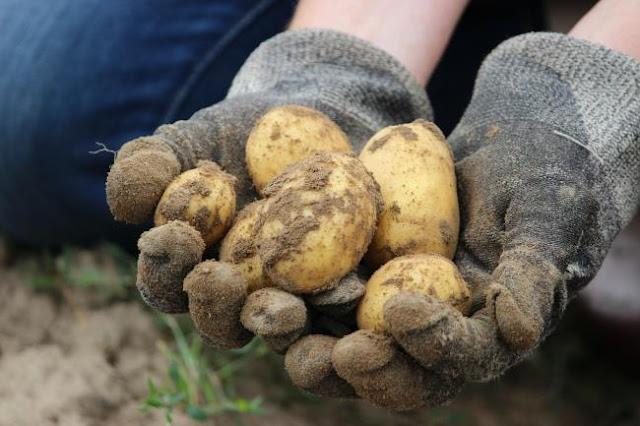 Πελοπόννησος: Οι πατάτες παραμένουν αδιάθετες και πωλούνται σε «εξευτελιστικές» τιμές