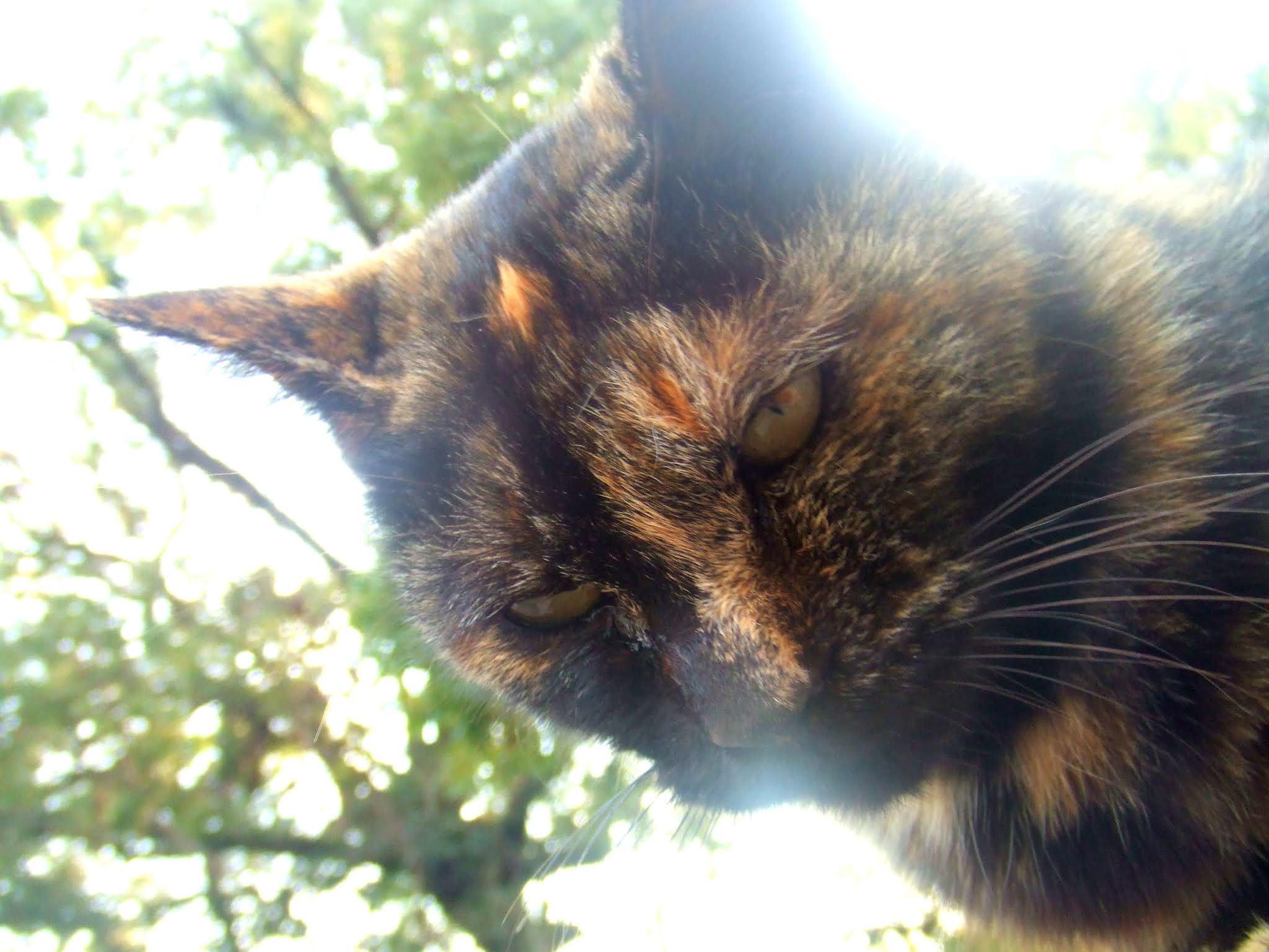 キリリとしたサビ柄猫さんのお顔の写真です。どことなくイケメンで高貴な雰囲気です。猫ブログなどにどうでしょう。