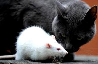 Foto de una rata cerca a un gato