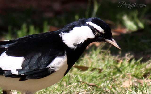 Peewee - definitely not a magpie, but often found sharing grazing area