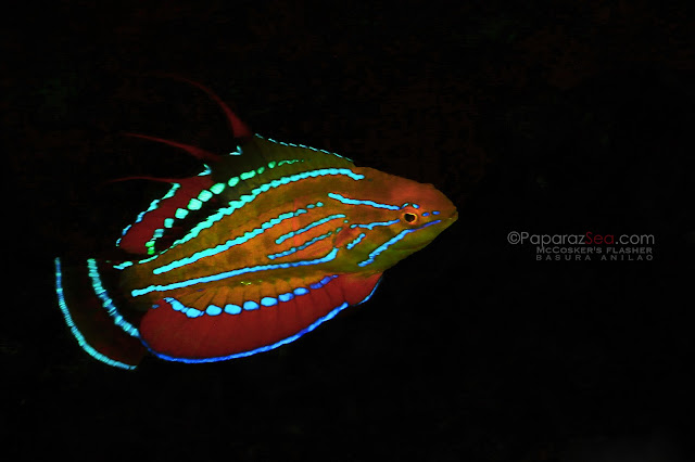 flasher wrasse jun lao
