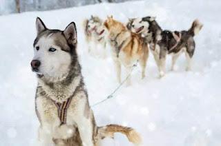 σκυλος αρχηγος αγελης