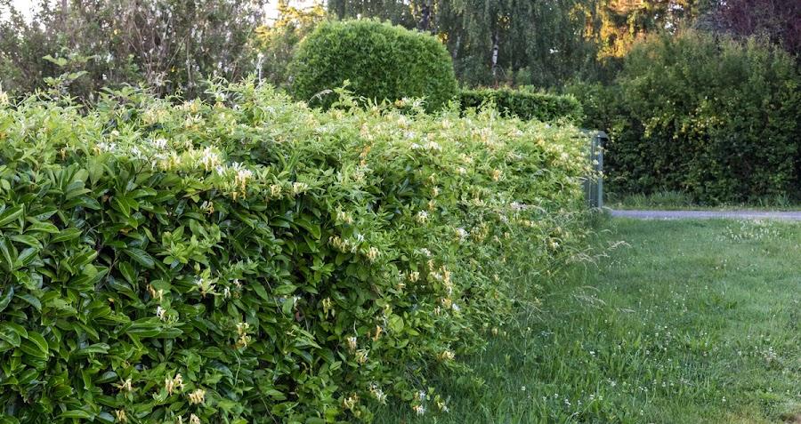 Honeysuckle in the hedge