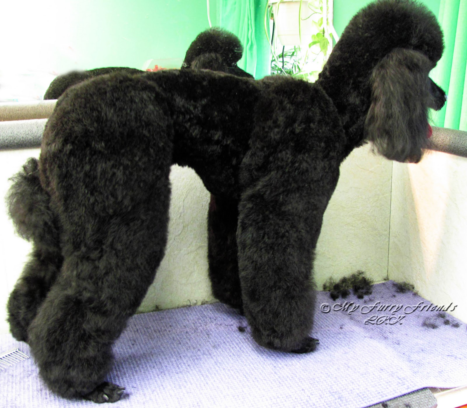 Grooming Your Furry Friend Does A Poodle Have To Be Groomed