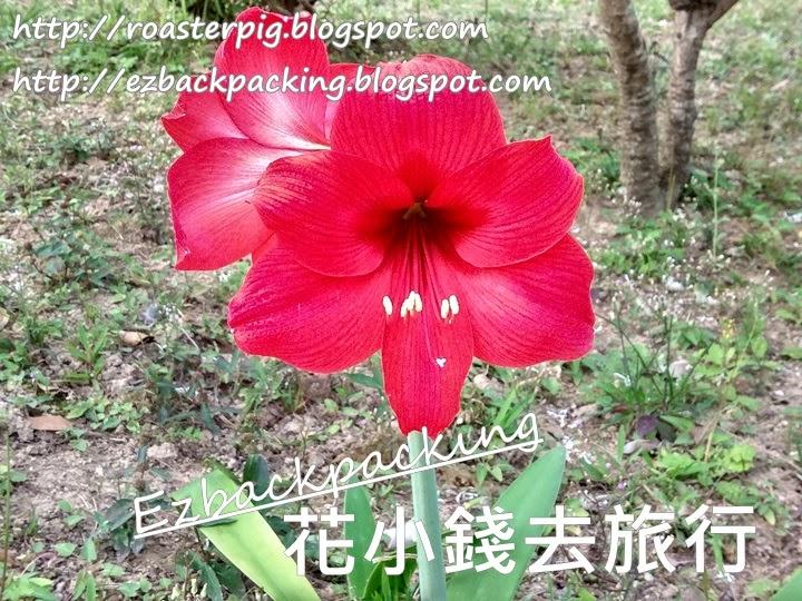 香港百合花