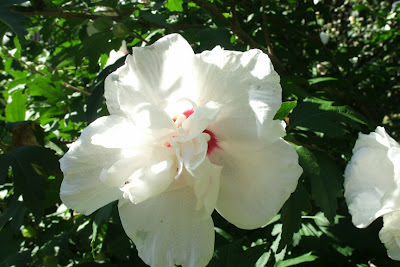 "Hibiscus syriacus ""China  Chiffon"" Rose of Sharon by garden muses: a Toronto gardening  blog"