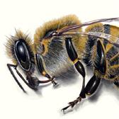 Page ouvrant sur une série de dessins sur la mort des abeilles