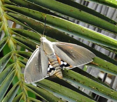 Polilla de las palmeras (Paysandisia archon)
