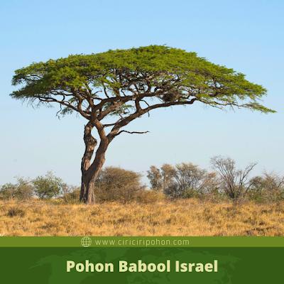 Ciri Ciri Pohon Babool Israel