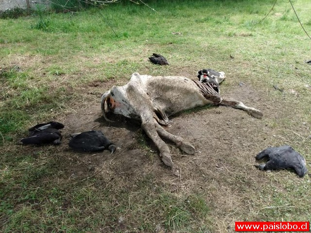 Buitres mueren luego de comer vaca muerta en Osorno