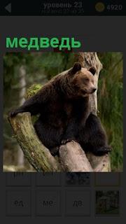 На дерево забрался большой и толстый бурый медведь и смотрит вдаль
