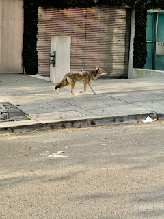 """Động vật hoang dã """"chiếm đóng"""" đường phố thành thị khi người dân """"cố thủ"""" trong nhà vì tránh dịch COVID-19"""