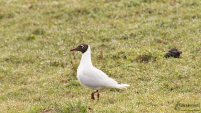 Cáhuil (Chroicocephalus maculipennis), Cerros del Peñol, Olmopulli, Maullín.