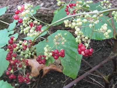 Spikenard berries