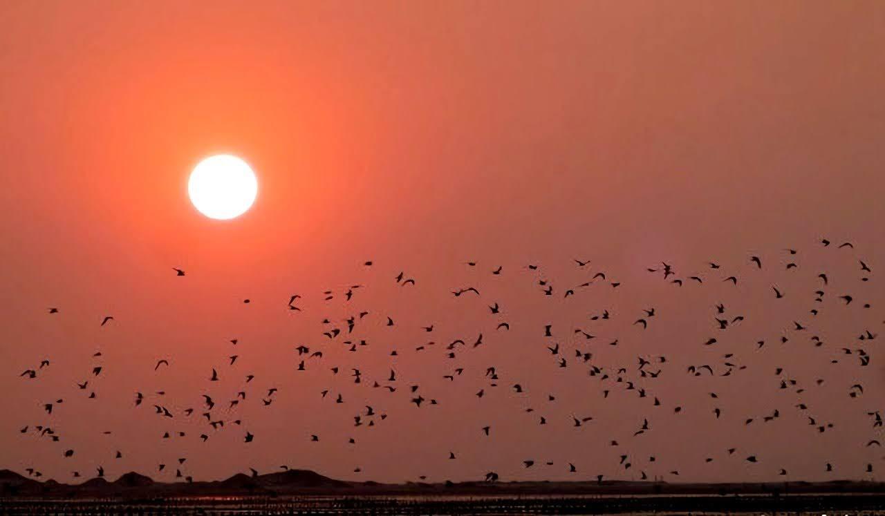 每年北門最壯觀的時刻|黑腹燕鷗回潟湖過冬|井仔腳成千上萬「黑點」超壯觀