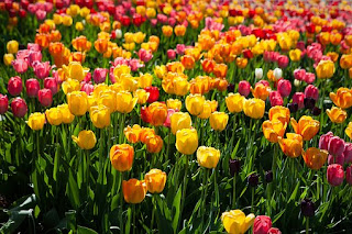 tulip-www.healthnote25.com