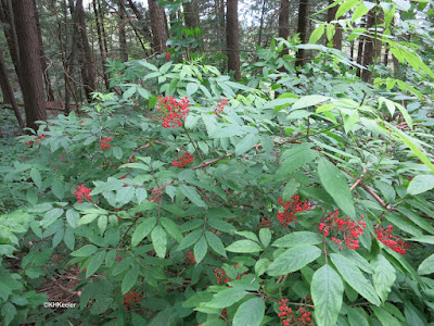 red elderberries