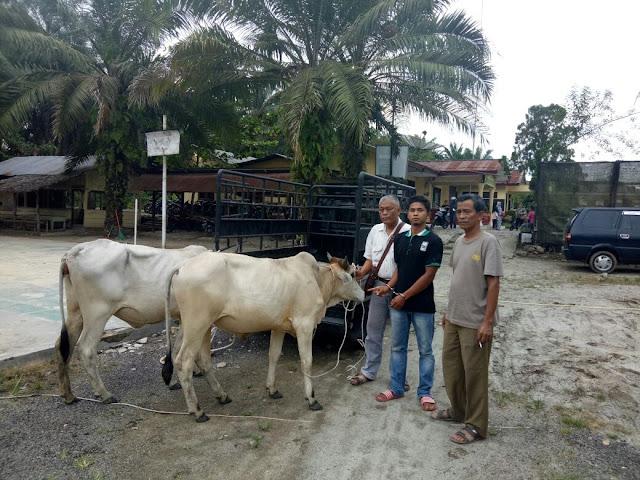 Lembu milik Sabidik yang dicuri saat di kantor polisi.