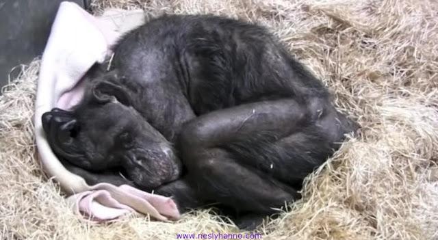 Погибающая шимпанзе «по-человечески» простилась с человеком, которого знала более 40 лет