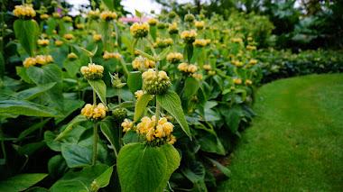 Phlomis, plantas tolerantes a la sequía con brillantes flores en verano