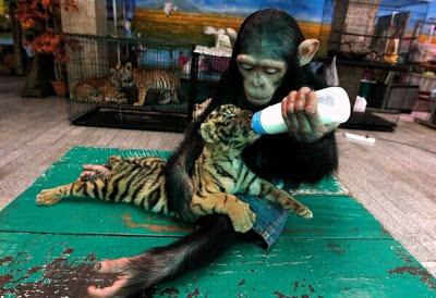 Chimpancé de dos años alimentando con leche a Aorn, un pequeño de tigre de 60 días