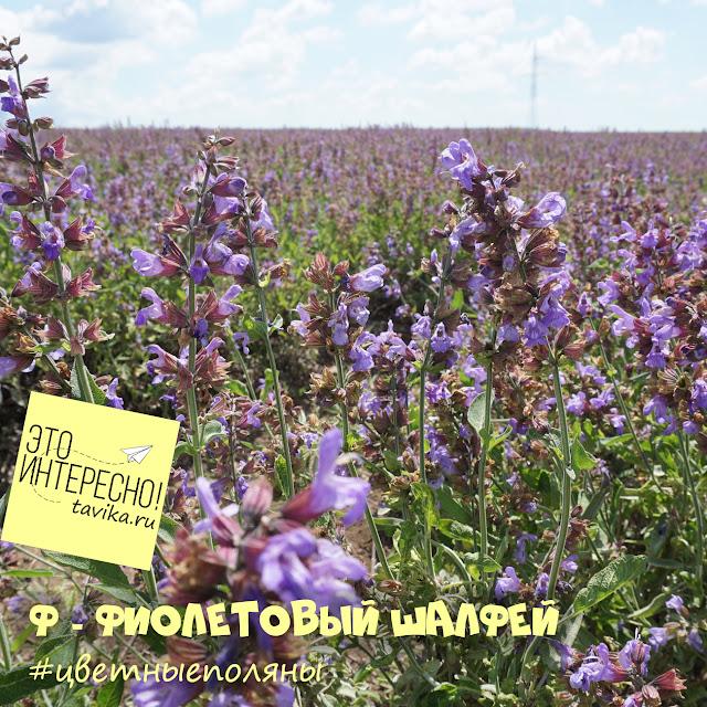 поле шалфея, Крым, Крымская роза