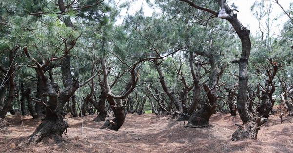《台中.外埔》一整片低矮黑松樹林,賞完黃色海芋可以順路來拍美照
