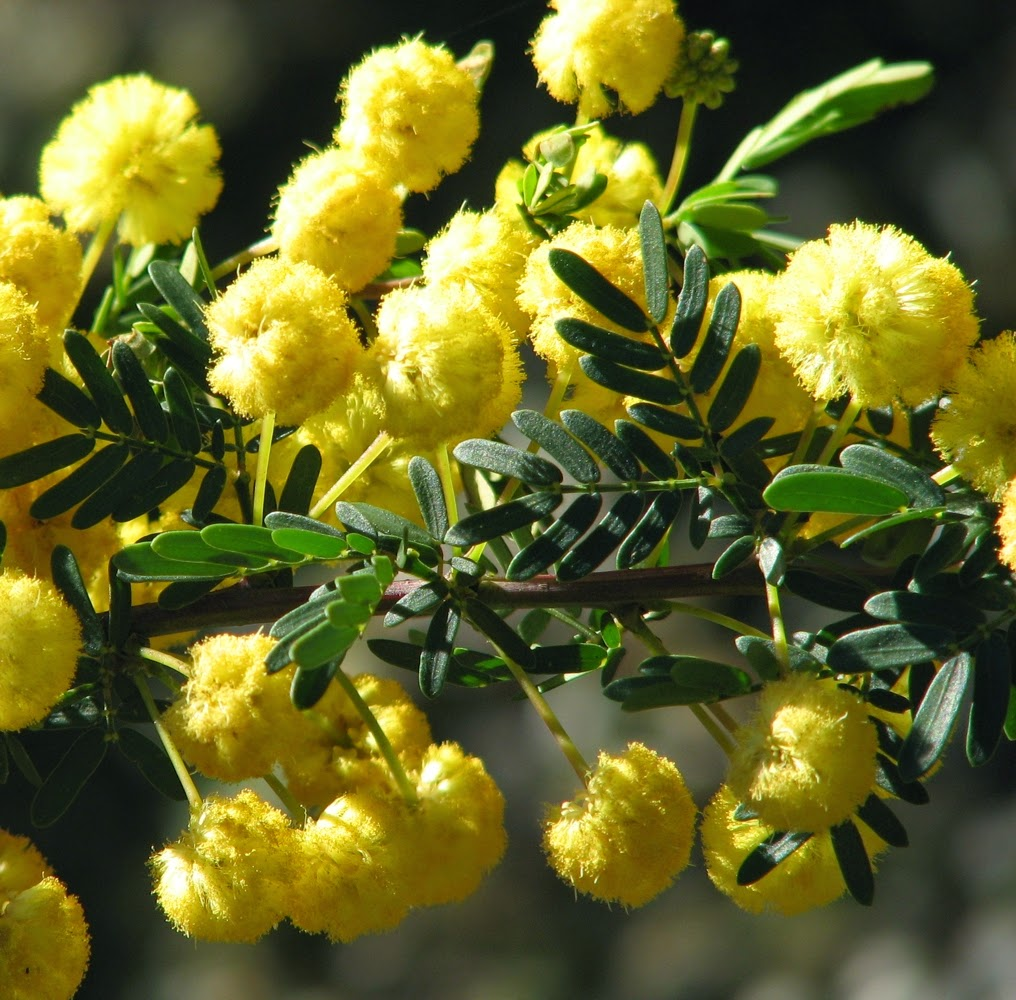 Acacia Plant Liliana Usvat - Reforestation And Medicinal Use Of The