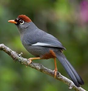 Cara Akurat Merawat Burung Poksay Mandarin Jambul / Mantel Medan