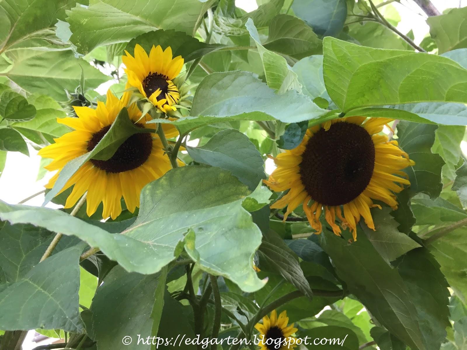 Edgarten Gartenblog Können Bohnen An Sonnenblumen
