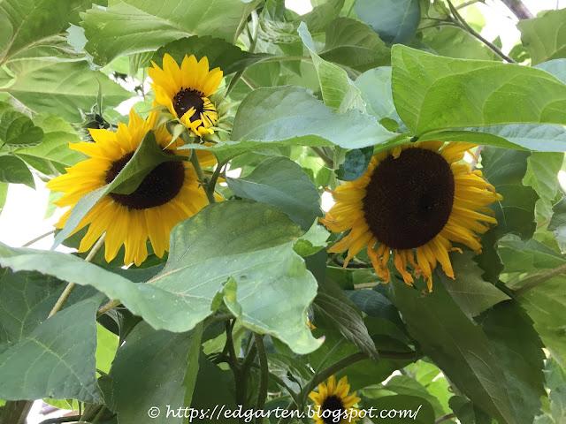 Stangenbohnen ranken an Sonnenblumen hoch