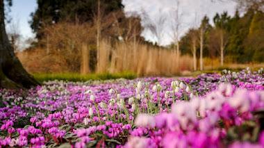 5 plantas bulbosas que crean alfombras de flores en invierno (y anuncian que se acerca la primavera)