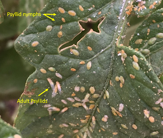 picture of tomato psyllid adults and nymphs