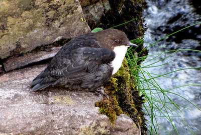 Dippers are interesting birds, and the white-throated version has some surprising abilities highlighting the work of the Master Engineer.