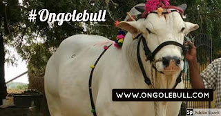 Ongole bull images in Royal Look