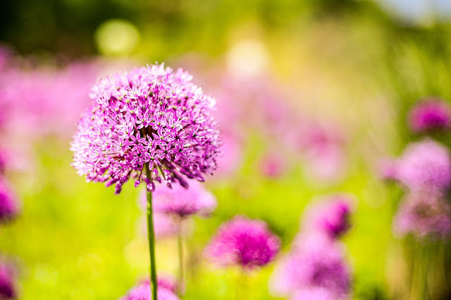 An Allium, living the mindful life, just slow down, mandy charlton, photographer, writer, blogger
