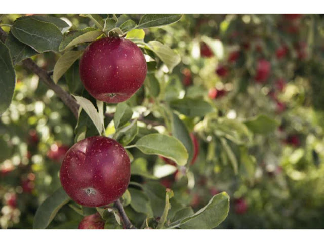 apple orchard directory and guide