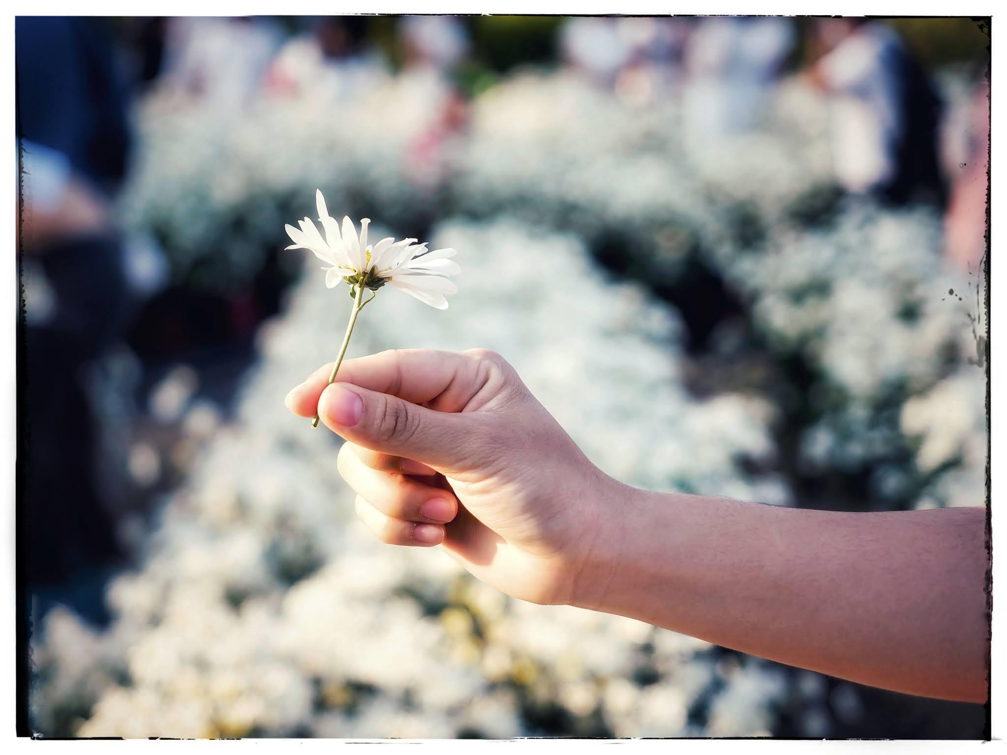 Thông tin chi tiết vườn hoa cúc họa mi nở rộ trong nắng xuân tại Đà Nẵng