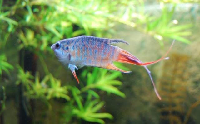 Gambar Ikan Cupang Paradise
