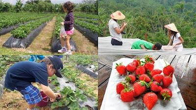 wisata menarik di Bali, petik buah strawberry di begudul