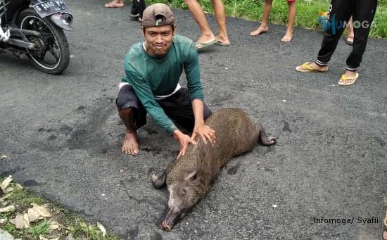 Babi Hutan Masuk ke Permukiman Desa Pepedan, 2 Ekor Berhasil Ditangkap Warga
