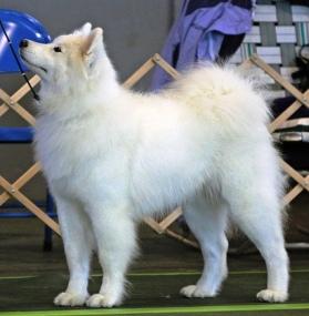 all white dog