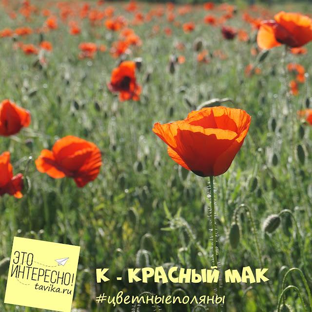Мак самосейка. Крым