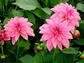 Цветок имени Римма - георгин