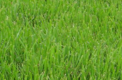 Palisades Zoysia grass Seed, Problems, Reviews, Maintenance