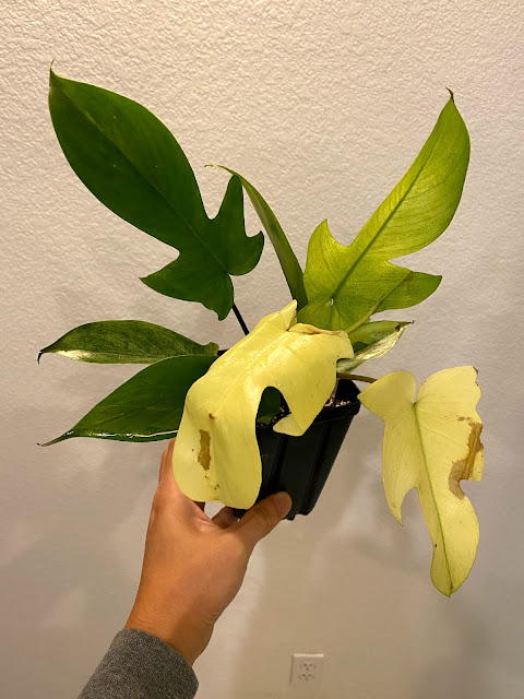 Philodendron Florida Ghost from NSE Tropicals