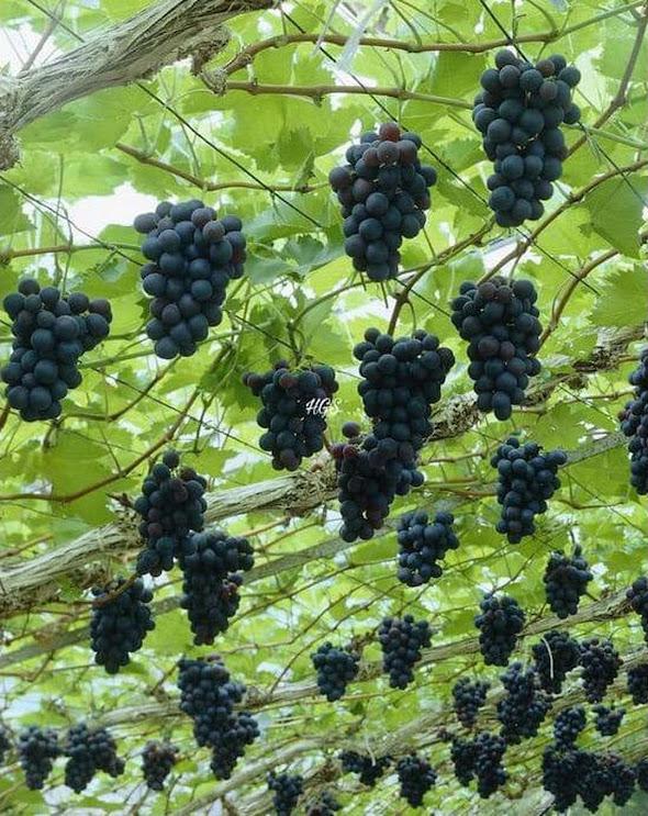 Ori Bibit Tanaman Buah Anggur Black Jumbo Tanpa Biji Original Palembang
